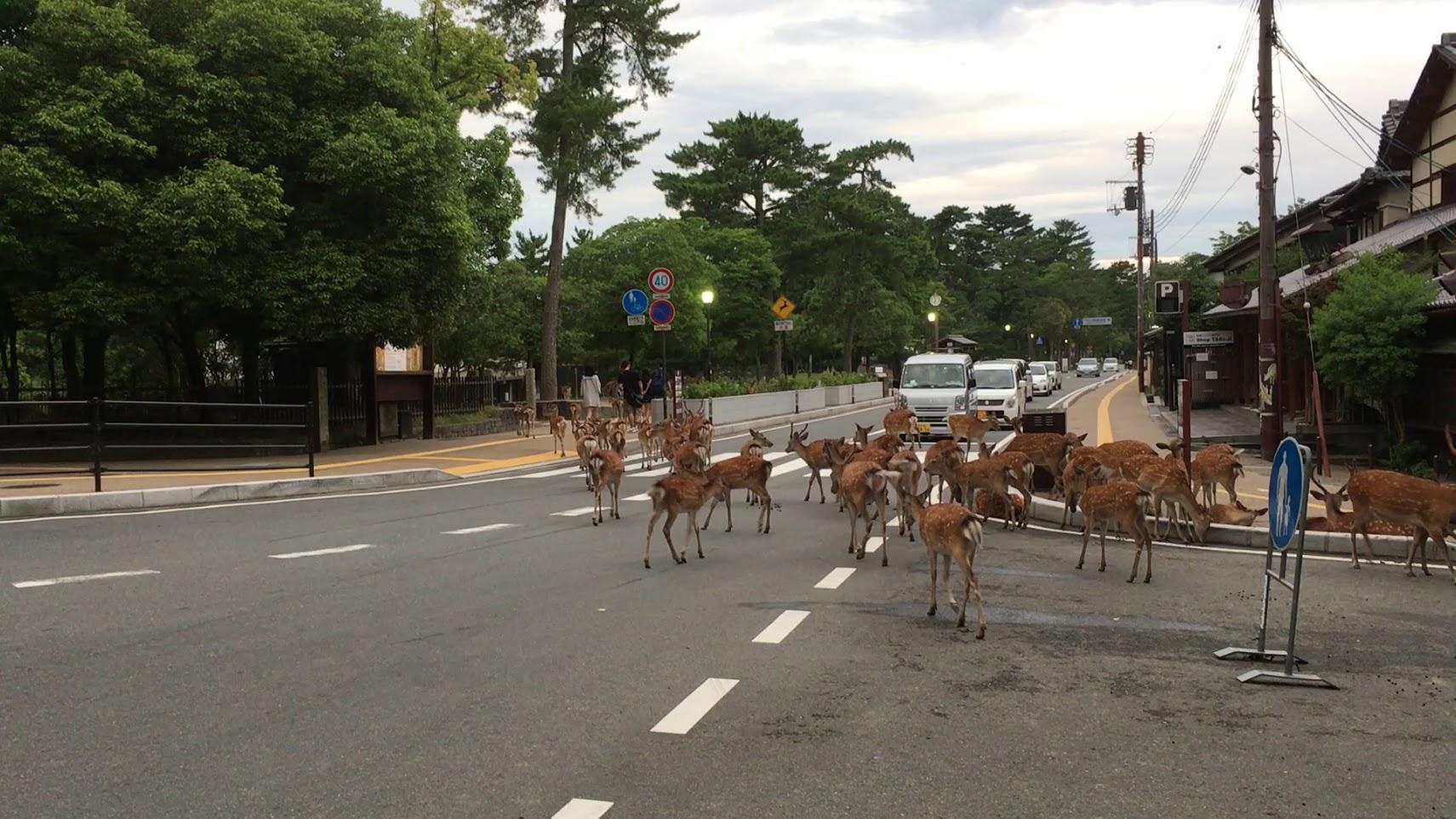 鹿たちの大移動