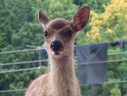 奈良公園の鹿マナー ~母子鹿(春)~
