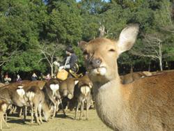12月2日奈良の冬景~鹿寄せ~