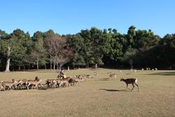 12月3日奈良の冬景~鹿寄せ~