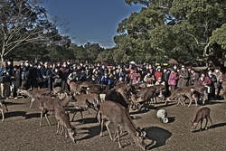 12月4日奈良の冬景~鹿寄せ~
