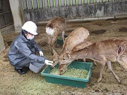 シカの治療を手伝ってくれるボランティアの木村さん