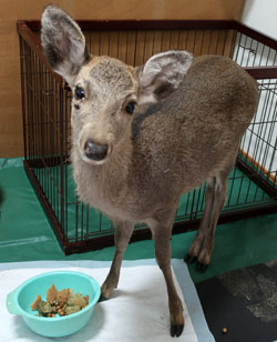 治療中の子鹿の様子《続報》