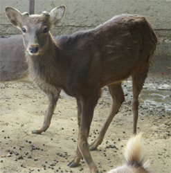 治療中の鹿について