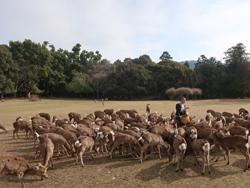 奈良大和路キャンペーン鹿寄せのお休みについて